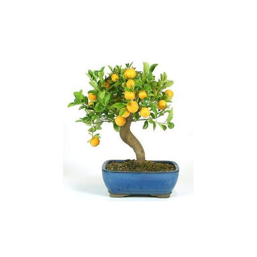 Bonsai Citrus 12 anni